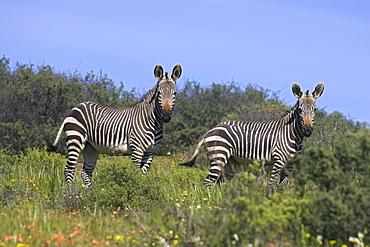 Cape mountain zebra, Equus zebra zebra, in spring flowers in Bushman's Kloof Reserve, Cedarberg, Western Cape, South Africa, Africa