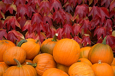 Autumnal display of pumpkins against virginia creeper at organic farm shop, Low Sizergh Barn, Cumbria, England, United Kingdom, Europe