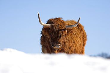 Highland cow in snow, conservation grazing on Arnside Knott, Cumbria, England, United Kingdom, Europe