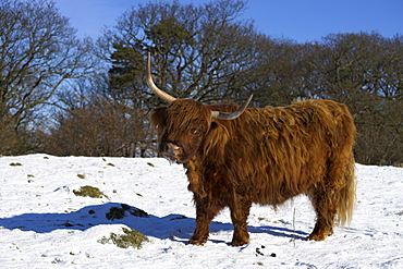 Highland bull in snow, conservation grazing on Arnside Knott, Cumbria, England, United Kingdom, Europe
