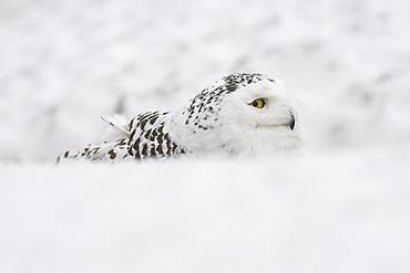 Snowy owl, Nictea scandiaca, female, captive, United Kingdom, Europe