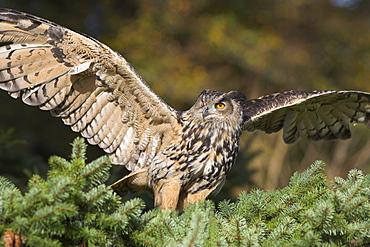 European eagle owl, Bubo bubo, female, captive, World Owl Trust, Muncaster Castle, Cumbria, England, United Kingdom, Europe