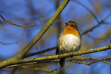 Robin, Erithacus rubecula, on twig at Martin Mere Wildfowl and Wetlands Trust reserve in Lancashire, England, United Kingdom, Europe