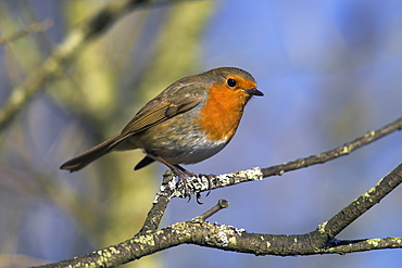 Robin, Erithacus rubecula, perched on a tree branch at Leighton Moss RSPB nature reserve, Silverdale, Lancashire, England, United Kingdom, Europe