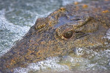 Close-up of Nile crocodile (Crocodylus niloticus), Kruger National Park, South Africa, Africa