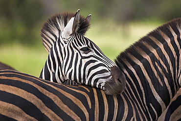 Burchell's (plains) zebra (Equus burchelli), resting, Kruger National Park, South Africa, Africa - 743-482