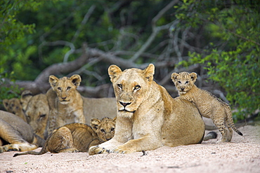 Lioness (Panthera leo), with cubs, Kruger National Park, South Africa, Africa