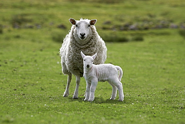 Ewe with lamb, Scotland, United Kingdom, Europe