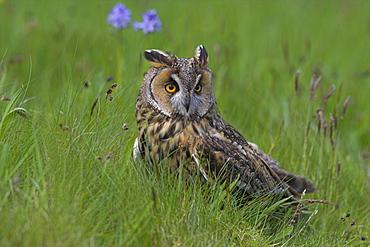 Long-eared owl (Asio otus), Muncaster, Cumbria, England, United Kingdom, Europe