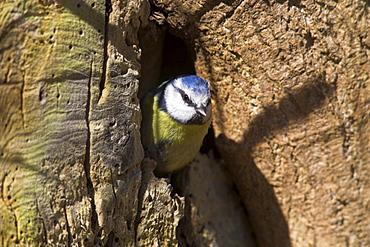 Blue tit (Parus caerulus), emerging from nesthole, United Kingdom, Europe