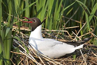 Blackheaded gull, Larus ridibundus, on nest, Leighton Moss R.S.P.B. Reserve, England, United Kingdom, Europe