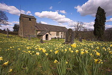 Wild daffodils, Narcissus pseudonarcissus, in St Anthony's churchyard, Cartmel Fell in the Lake District, Cumbria, England, United Kingdom, Europe