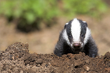 Badger cub, Meles meles, captive, United Kingdom, Europe