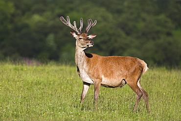Red deer (Cervus elaphus) stag, in velvet, Grasspoint, Mull, Scotland, United Kingdom, Europe