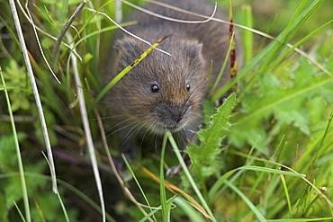 Water vole (Arvicola terrestris), Alston Moor, Cumbria, England, United Kingdom, Europe