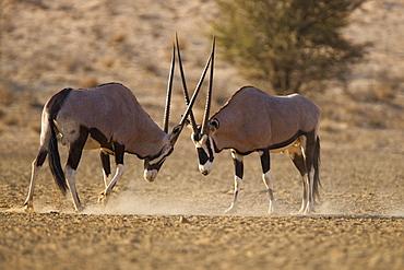 Gemsbok (Oryx gazella gazella), sparring, Kgalagadi Transfrontier Park, South Africa, Africa