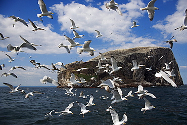 Herring gulls (Larus argentatus), following fishing boat with Bass Rock behind, Firth of Forth, Scotland, United Kingdom, Europe