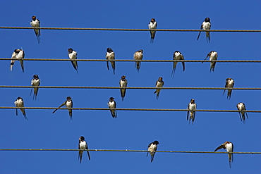 Barn (European) swallow (Hirundo rustica) on wire, Overberg, Western Cape, South Africa, Africa