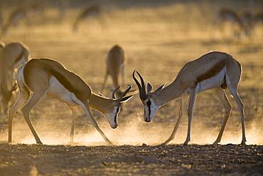 Springbok sparring (Antidorcas marsupialis), Kgalagadi Transfrontier Park, South Africa, Africa