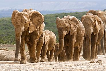 Elephant breeding herd (Loxodonta africana), Addo Elephant National Park, Eastern Cape, South Africa, Africa