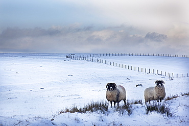 Northumberland blackface sheep in snow, Tarset, Hexham, Northumberland, United Kingdom, Europe