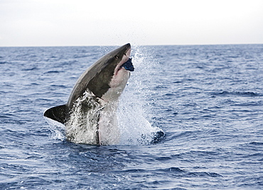 Great white shark (Carcharodon carcharias), breaching to decoy, Seal Island, False Bay, Cape Town, South Africa, Africa