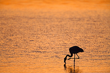 Greater flamingo (Phoenicopterus ruber), at dusk, Walvis Bay lagoon, Namibia, Africa