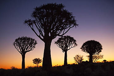 Quiver trees (Aloe dichotoma), Quiver tree forest silhouette, Keetmanshoop, Namibia, Africa