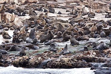South African (Cape) fur seals (Arctocephalus pusillus pusillus), Seal Island, False Bay, Western Cape, South Africa, Africa