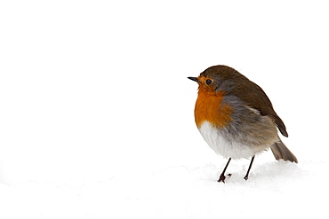 Robin (Erithacus rubecula), in snow, United Kingdom, Europe