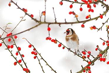 Goldfinch (Carduelis carduelis) in winter, Northumberland, England, United Kingdom, Europe