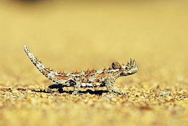 Thorny devil, Moloch horridus, Kalbarri National Park, Western Australia, Australia, Pacific