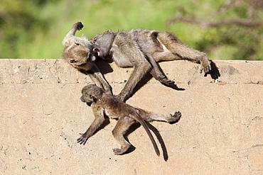 Chacma baboons (Papio cynocephalus ursinus) playing, Kruger National Park, Mpumalanga, South Africa, Africa