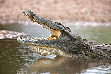 Nile crocodile (Crocodylus niloticus), jaws agape, Kruger National Park, South Africa, Africa - 743-810
