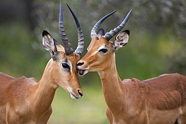 Impala (Aepyceros melampus), males allogrooming, Kruger National Park, Mpumalanga, South Africa, Africa