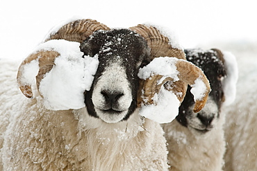 Northumberland blackface sheep in snow, Tarset, Hexham, Northumberland, England, United Kingdom, Europe