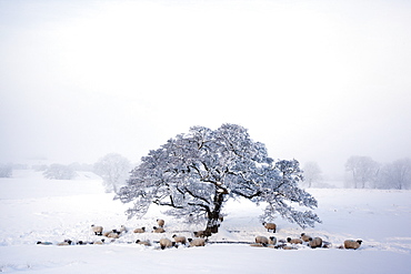 Northumberland blackface sheep in snow, Tarset, Hexham, Northumberland, England, United Kingdom, Europe