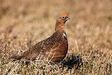 Red grouse (Lagopus lagopus), male, in heather, County Durham, England, United Kingdom, Europe