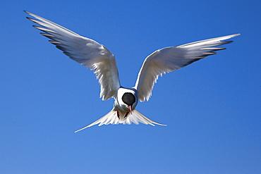 Arctic tern (Sterna paradisaea) in flight, Farne Islands, Northumberland coast, England, United Kingdom, Europe