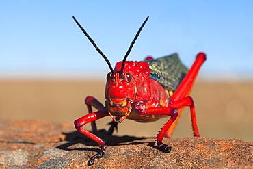 Common milkweed locust (Phymateus morbillosus), Samara private game reserve, Karoo, South Africa, Africa