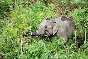 WildAsian elephant, Elephas maximus, feeding, Kaziranga National Park, Assam, India, Asia
