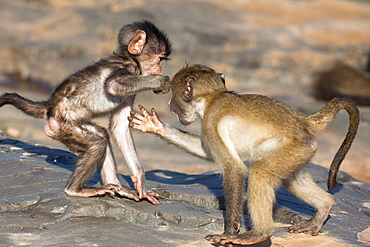 Baby chacma baboons (Papio cynocephalus ursinus), playfighting, Kruger National Park, South Africa, Africa