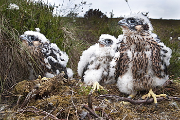 Peregrine chicks (Falco peregrinus), after being ringed, Northumberland National Park, England, United Kingdom, Europe