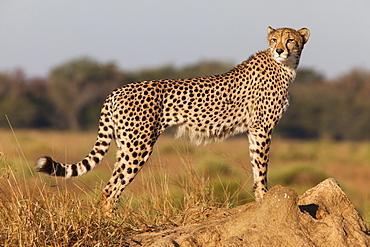Cheetah female (Acinonyx jubatus), Phinda private game reserve, Kwazulu Natal, South Africa, Africa