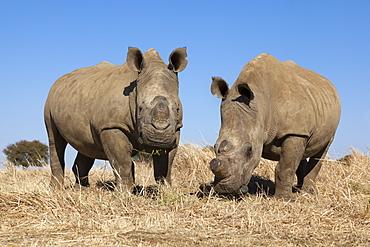 Dehorned white rhinos (Ceratotherium simum) on rhino farm, Klerksdorp, North West Province, South Africa, Africa