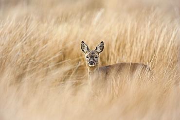 Roe deer buck (Capreolus capreolus), Islay, Scotland, United Kingdom, Europe