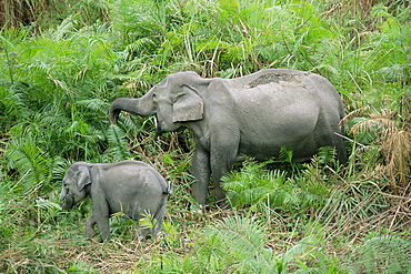 Wild Asian elephant, Elephas maximus, feeding, Kaziranga National Park, Assam, India, Asia