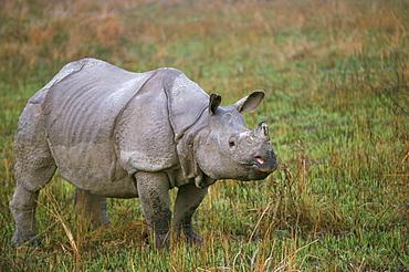 Indian one-horned rhino (Rhinoceros unicornis), Kaziranga National Park, Assam state, India, Asia