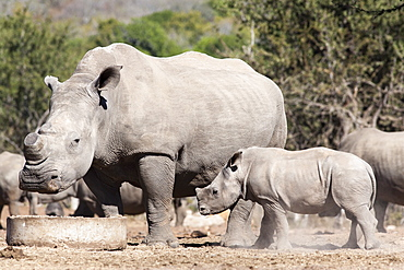 Dehorned white rhino (Ceratotherium simum) with calf, Mauricedale game ranch, Mpumalanga, South Africa, Africa