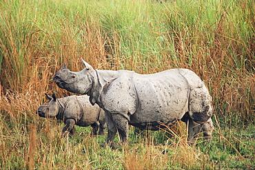Indian one-horned rhinoceros (rhino), Rhinoceros unicornis, with calf, Kaziranga National Park, Assam, India, Asia